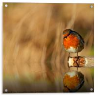 Robin red Breast (Erithacus rubecula), Acrylic Print