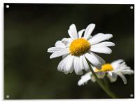 Ox-eye Daisy flower , Acrylic Print