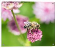 Foraging Honey Bee, Acrylic Print