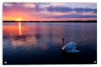 Swan at Sunset, Acrylic Print
