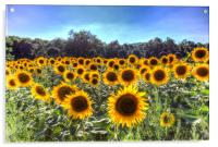 Sunflower Fields Of Dreams , Acrylic Print