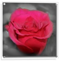 beautiful red rose, Acrylic Print