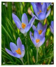 Crocus In Spring, Acrylic Print