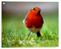 Robin, Acrylic Print