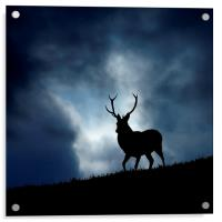 The stag, Acrylic Print