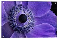 Purple Anemone, Acrylic Print