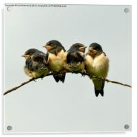 Swallow Fledglings 2, Acrylic Print