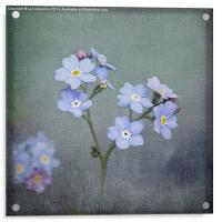 Forget Me Not, Acrylic Print