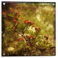 Pink Hawthorn in Flower, Acrylic Print