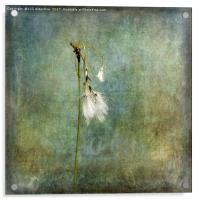 Cotton Grass, Acrylic Print