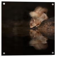 Red Squirrel Reflection, Acrylic Print