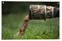 Red Squirrel inspecting a camera lens., Acrylic Print