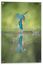 Male Kingfisher, Acrylic Print