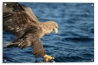 White-tailed Eagle Hunting, Acrylic Print