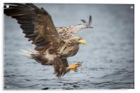 Male White-tailed Eagle, Acrylic Print