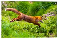 Flying Fox, Acrylic Print