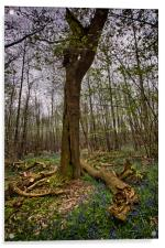Cut Tree Among Bluebells, Acrylic Print