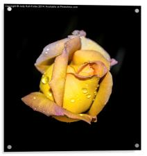 Rosebud and Dew, Acrylic Print