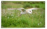 Barn Owl in Flight, Acrylic Print