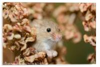 Harvest mouse in dry leaves, Acrylic Print