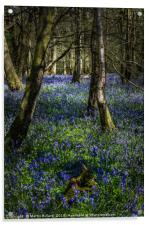 Blubells On The Surrey Hills, Acrylic Print