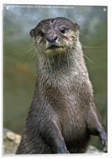 Otter, Acrylic Print