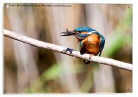 Kingfisher With Fish, Acrylic Print