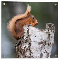 Red Squirrel in Tree, Acrylic Print