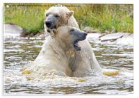 Polarbear's Play Fighting in Lake, Acrylic Print