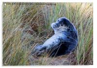 Grey Seal Pup, Acrylic Print