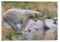Polarbear on the rocks, Acrylic Print