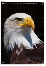Bald Eagle 2, Acrylic Print