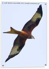 Red Kite 1, Acrylic Print