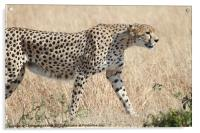 Cheetah Stepping Out, Acrylic Print