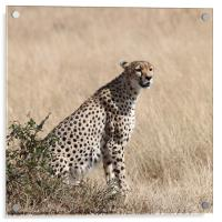 Cheetah Searching for Prey, Acrylic Print