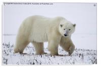 Polar Bear, Churchill, Canada, Acrylic Print
