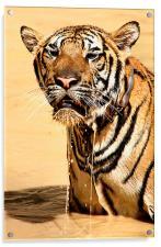 Dripping Tiger, Kanchanaburi, Thailand , Acrylic Print