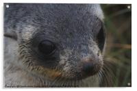 Antarctic Fur Seal Portrait, Acrylic Print