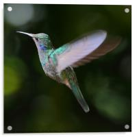Green Violetear Hummingbird, Acrylic Print