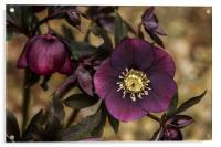 Purple Hellebore, Acrylic Print