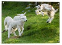 Spring Lamb Springing, Acrylic Print