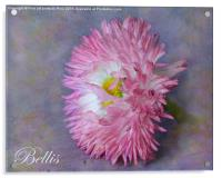 Bellis, Acrylic Print