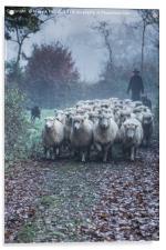 Moving Sheep, Acrylic Print
