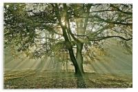 Tree, sun rays, early mist, Acrylic Print
