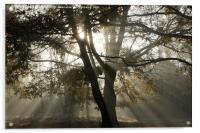 sun rays though the trees, Acrylic Print