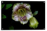 Cobaea Scandens Flower, Climber Vine, Acrylic Print