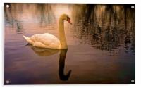 One Swan, sunset on water                         , Acrylic Print