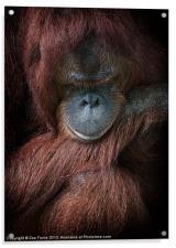 Portrait of an orangutan, Acrylic Print