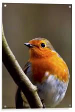 Bright eyed Robin, Acrylic Print