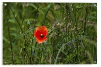 Poppy amongst the grasses, Acrylic Print
